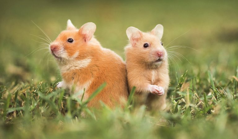 30 Fun Facts About Hamsters For Kids